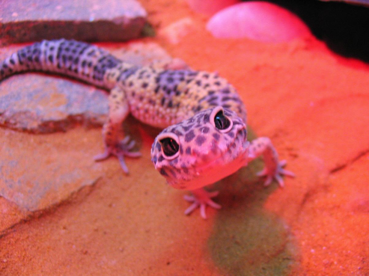 leopardgecko dream domain